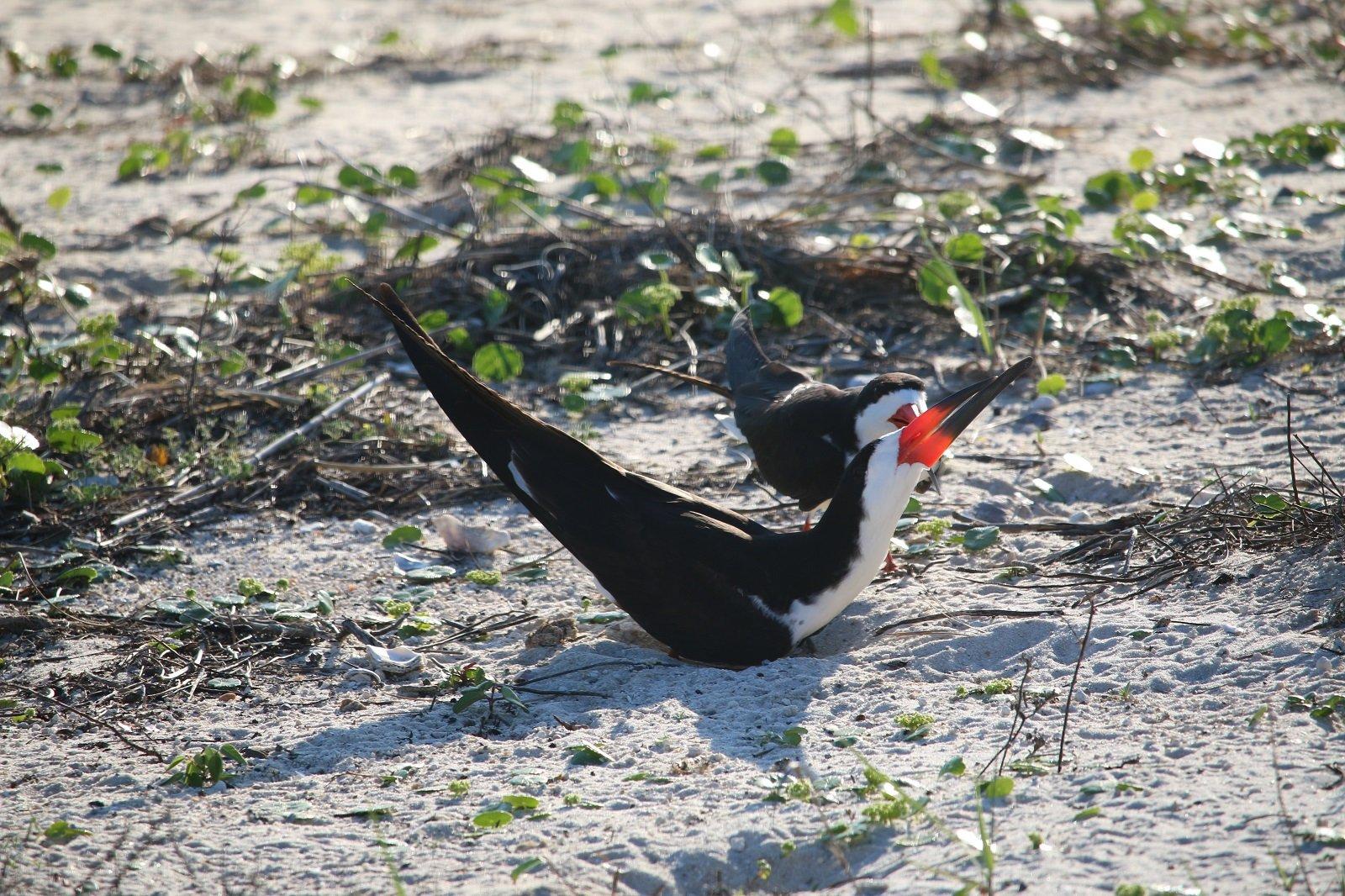 nature, landscape, birding, black skimmer, florida
