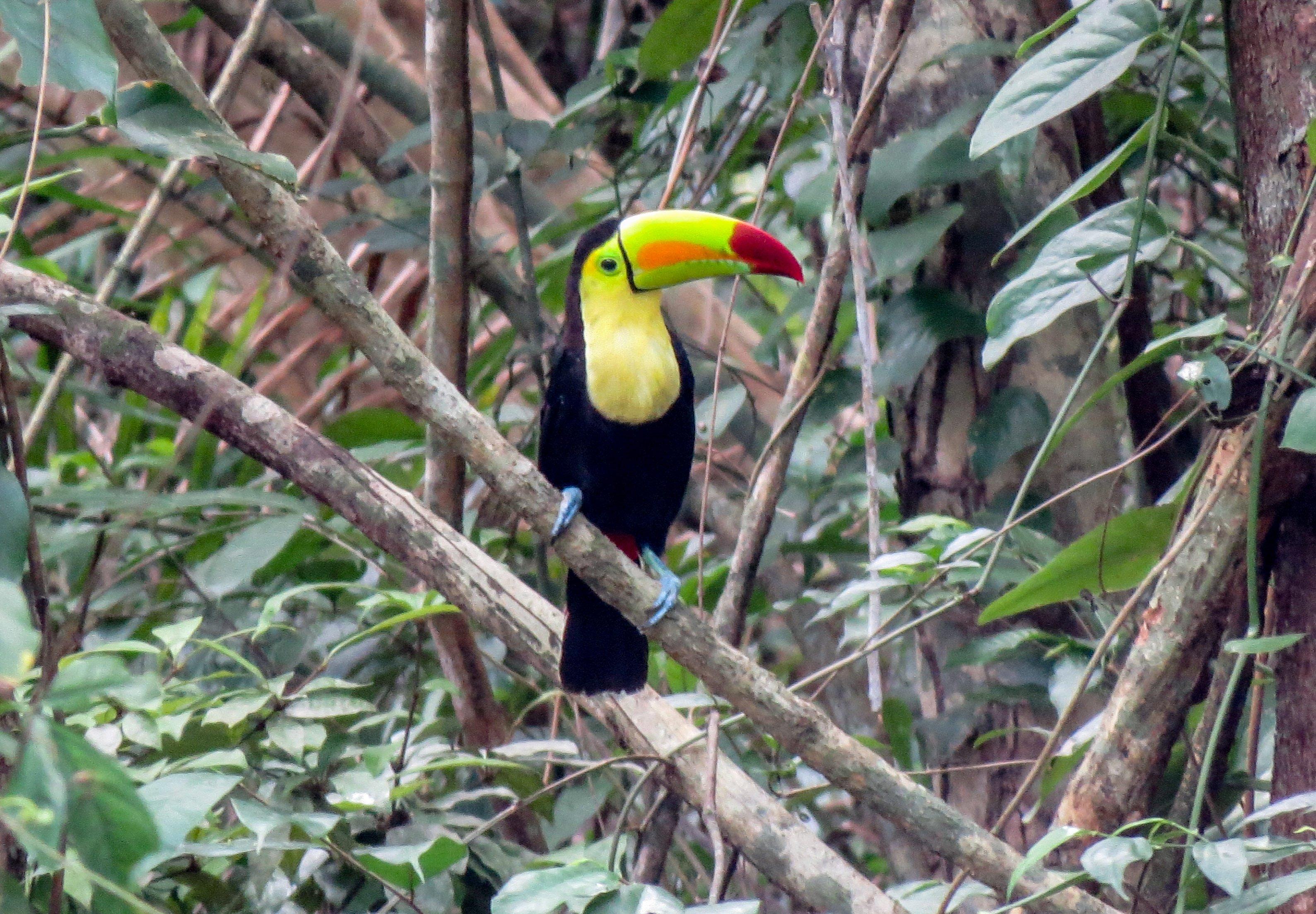 belize, bird, toucan
