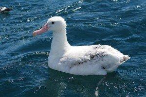 white albatross