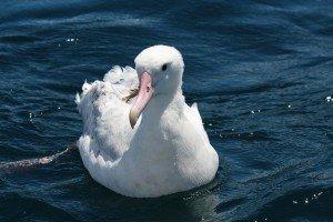 Snowy Albatross?
