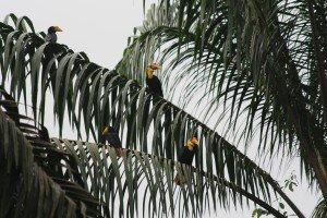 Wrinkled Hornbills