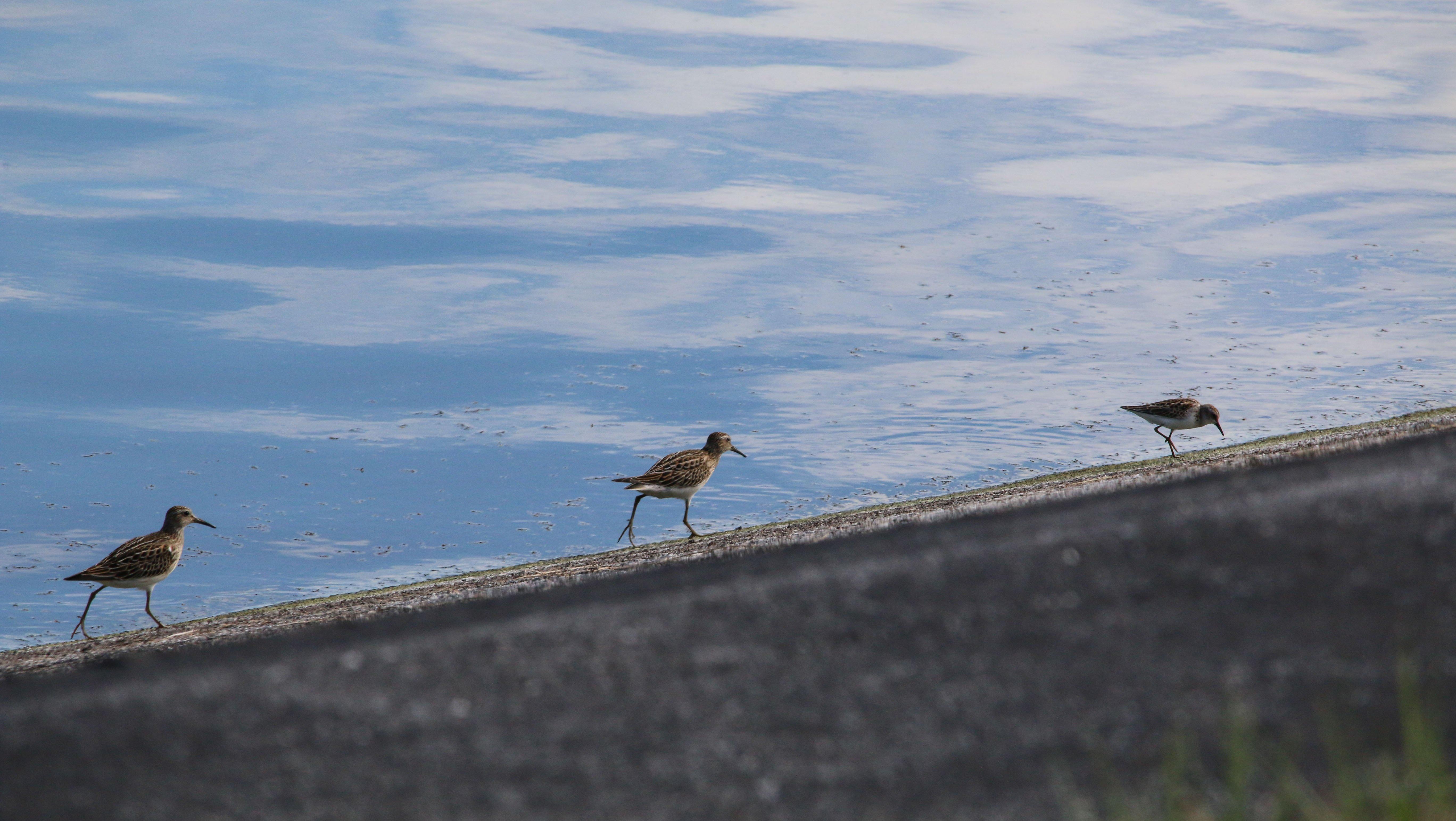 shorebirds, birding