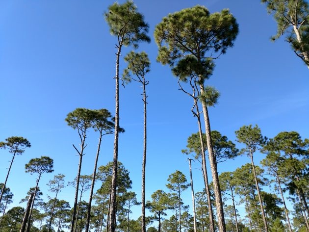 pines, florida, nature, birding