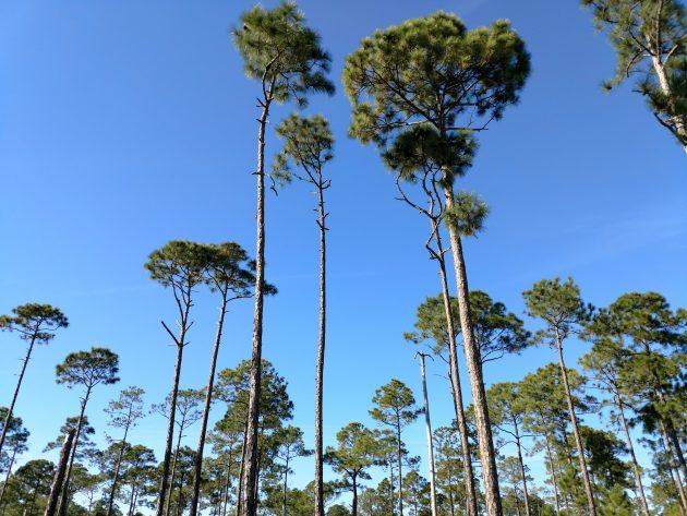 pines, florida, nature, birding