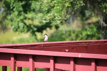 Eastern Kingbird.