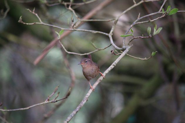 pacific wren, nature, birding