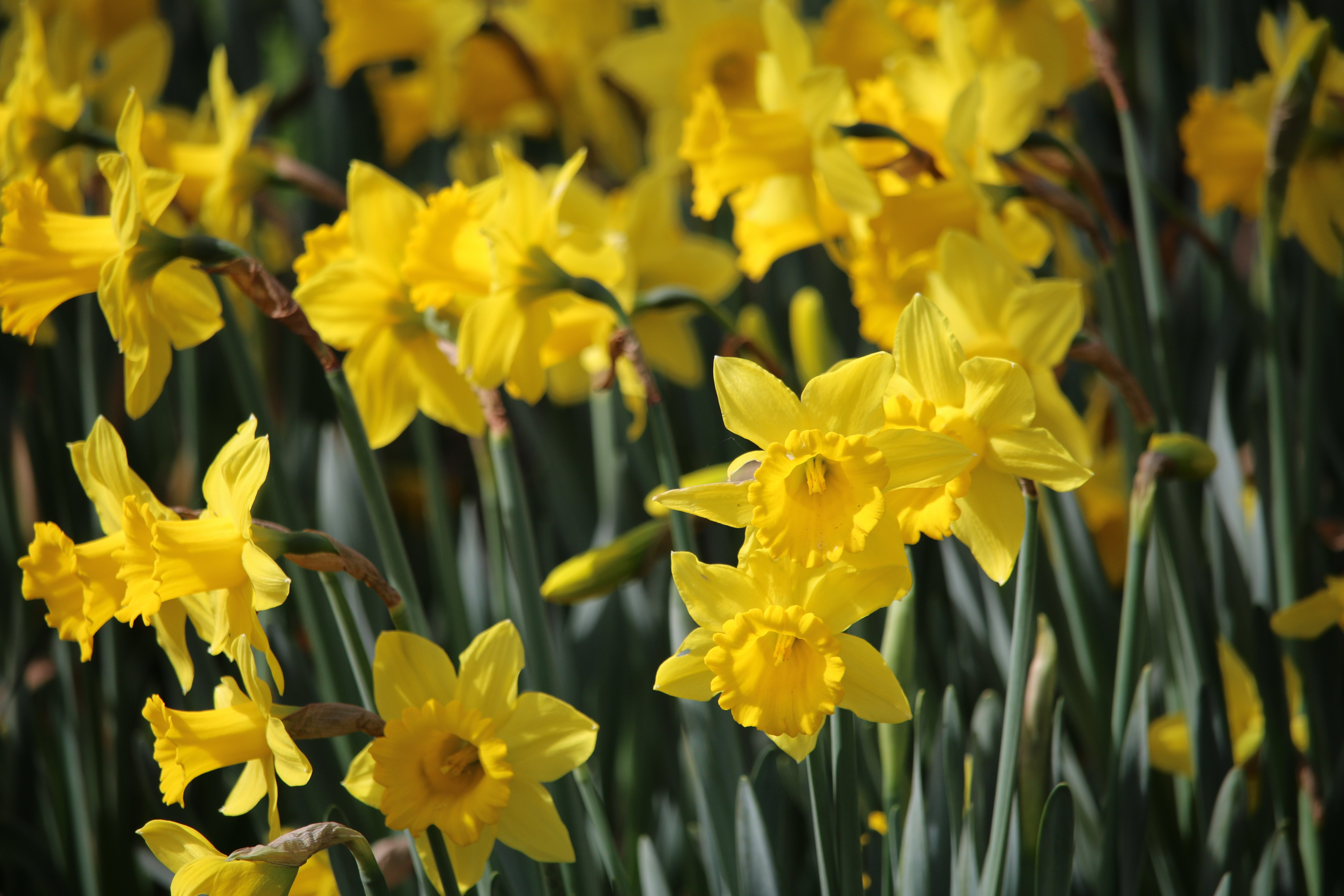daffodils, nature, gardens