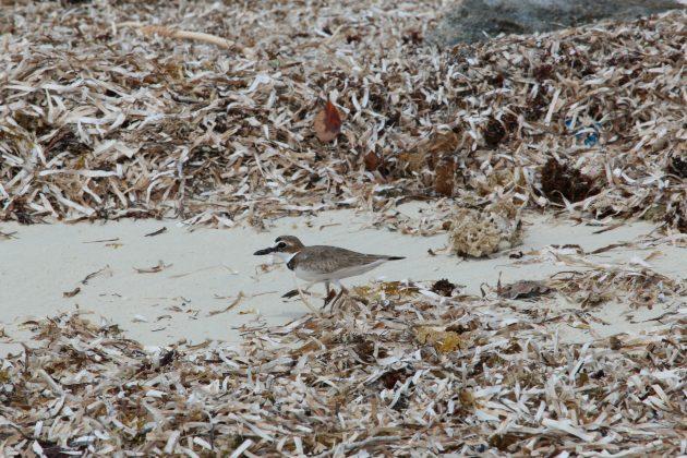 bahama, abaco, nature, birding
