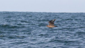 Great Skua, off Hatteras, NC