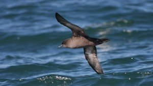 Sooty Shearwater, off Hatteras, NC