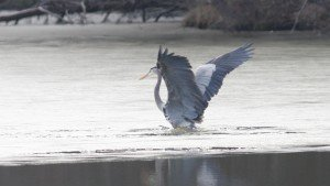 Great Blue Heron, Guilford Co, NC