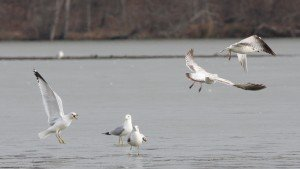 Ring-billed Gulls, Guilford Co, NC
