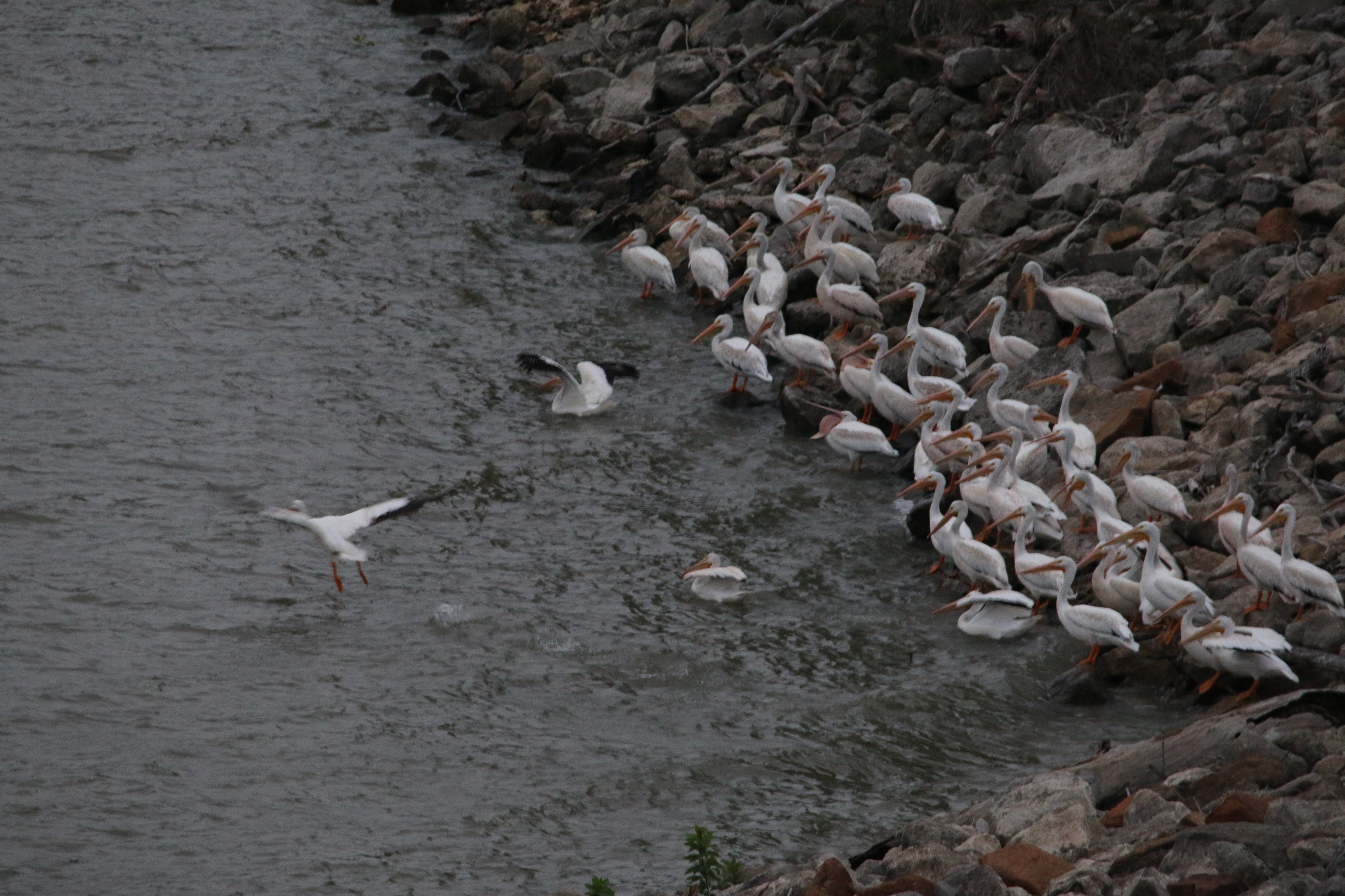 nature, pelicans
