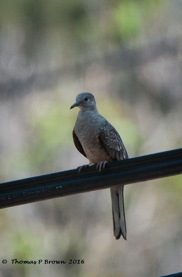 Inca Dove (2)