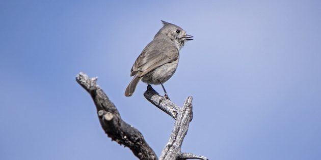 The Juniper Titmouse Nesting Project