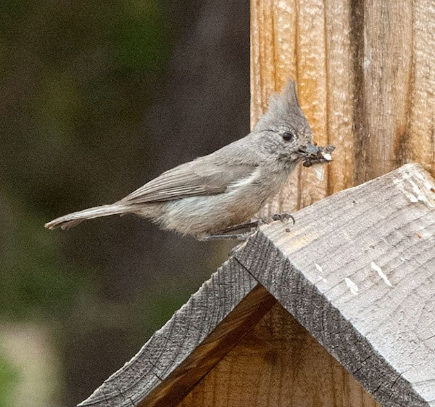 Juniper Titmouse courtesy of TJfromAZ (CC) on Flickr