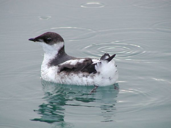 Juvenile marbled murrelet on water