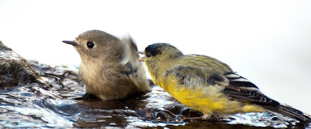 Lesser Goldfinch and Ruby-crowned Kinglet