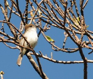 La Sagra's Flycatcher 2014 Feb 17