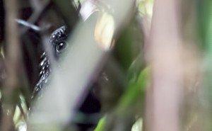 Large-tailed Antshrike