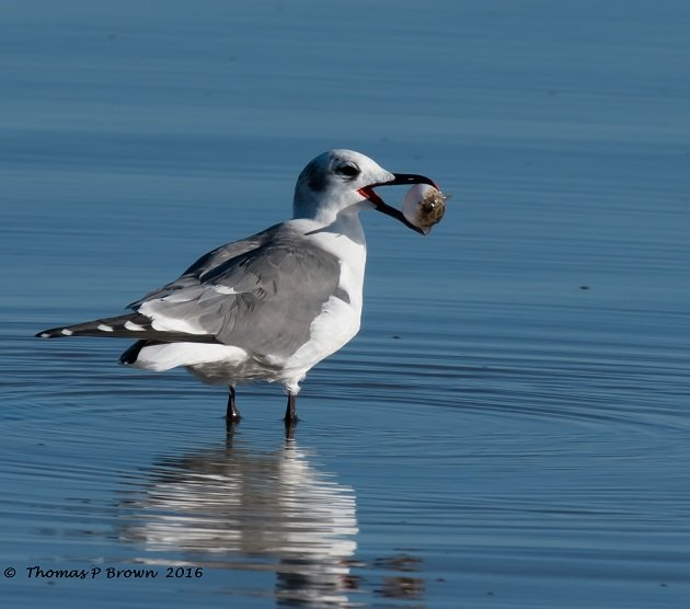 laughing-gull-with-pufferfish