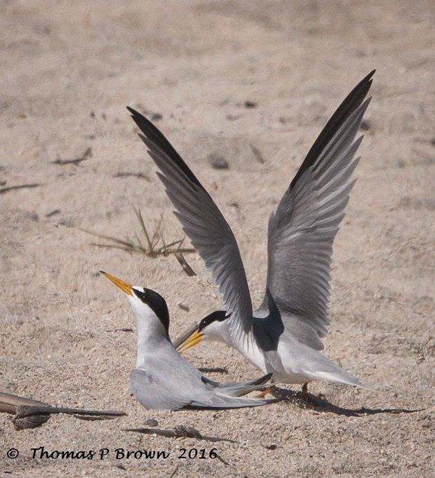 least-tern-nesting-site-3