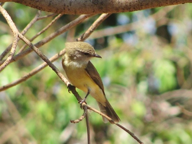 lemon-bellied-flycatcher