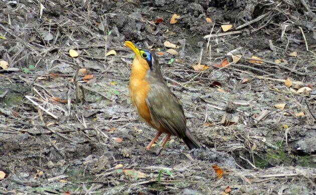 Lesser Ground Cuckoo 1