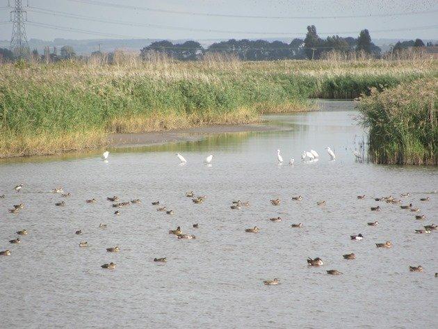 little-egrets-ducks