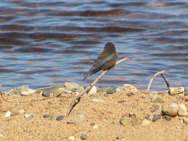 Little Woodswallow (2)