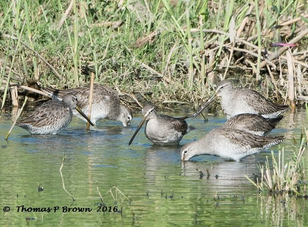 long-billed-dowitcher-3