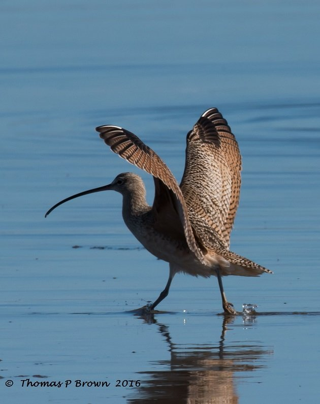 longbiled-curlew