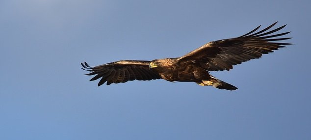 Golden Eagle: Eagle Tails and the Migratory Bird Treaty Act