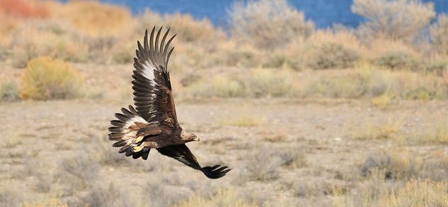 Golden Eagle 01: Eagle Tails and the Migratory Bird Treaty Act