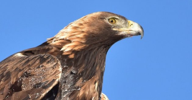 Golden Eagle 02: Eagle Tails and the Migratory Bird Treaty Act