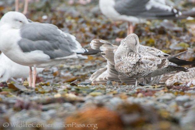 Mew Gull First Winter