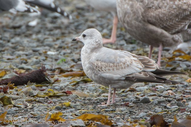 Mew Gull at Little River, CA