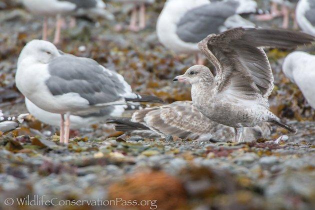Mew Gull Wings U