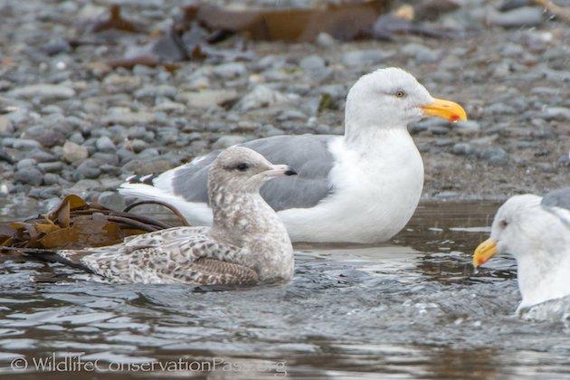 Mew Gull with Western Gulls