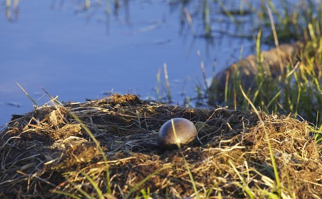Pacific Loon nest and egg