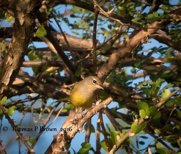 macgillivrays-warbler-2