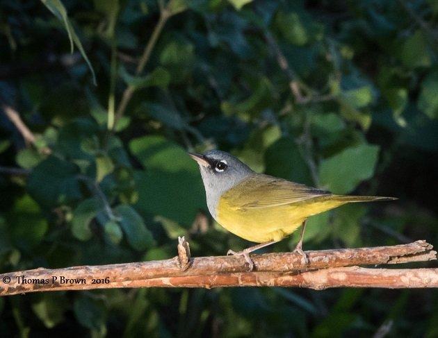 macgillivrays-warbler-3