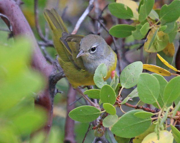 macgillavrys-warbler