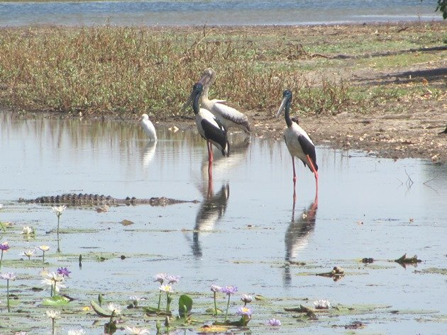 magpie-goose-being-eaten-by-a-crocodile-10