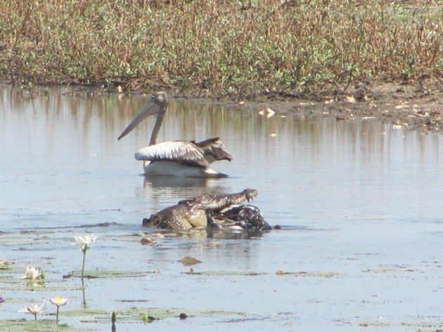 magpie-goose-being-eaten-by-a-crocodile-2
