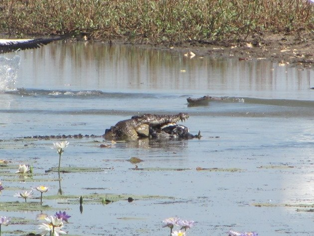 magpie-goose-being-eaten-by-a-crocodile-3