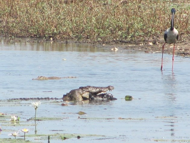 magpie-goose-being-eaten-by-a-crocodile-4