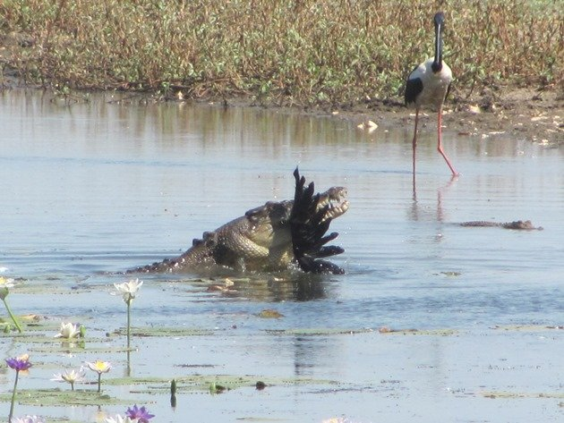 magpie-goose-being-eaten-by-a-crocodile-5