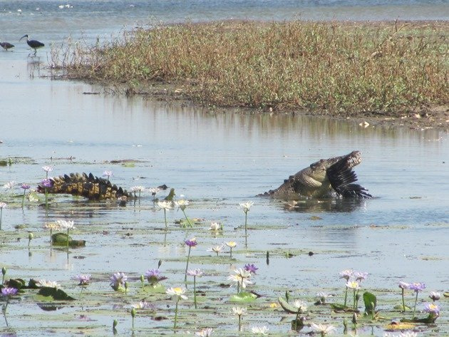 magpie-goose-being-eaten-by-a-crocodile-6
