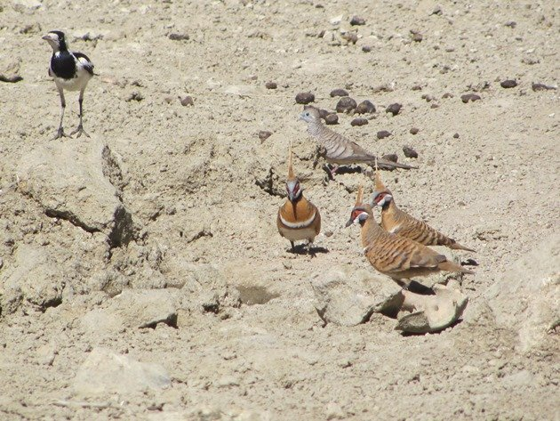 magpie-larkpeaceful-dove-spinifex-pigeons